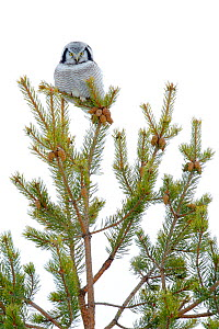 Hawk Owl (Surnia ulula) perched in a pine, Finland, March. - Andres M. Dominguez
