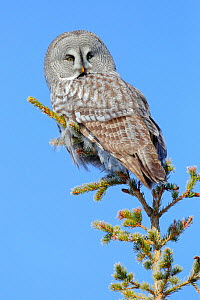 Great grey owl (Strix nebulosa) perched on a tree (Picea abies), Finland, March.  -  Andres M. Dominguez