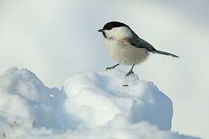 Willow tit (Poecile montanus) on snow, Kuusamo, Finland, March.  -  Andres M. Dominguez