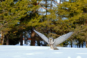 Hawk Owl (Surnia ulula) diving prey below the snow, Finland, March. - Andres M. Dominguez