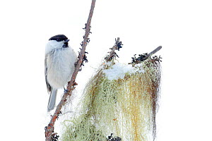 Willow tit (Poecile montanus) on branch, Kuusamo, Finland, March.  -  Andres M. Dominguez