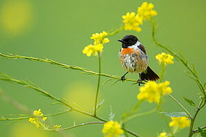 Common stonechat (Saxicola torquata) peched in brassica flowers,  Sierra de Grazalema Natural Park, southern Spain, April. - Andres M. Dominguez