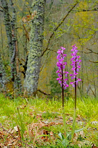Early-purple orchid (Orchis mascula) Puerto del Cornio, Asturias, Spain, May.  -  Andres M. Dominguez