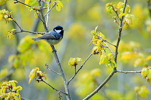 Coal tit (Periparus ater) perched on branch in spring with flower buds, Asturias, Spain, April.  -  Andres M. Dominguez