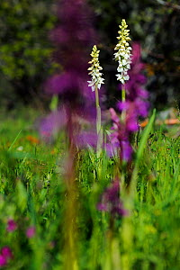 Albino Early-purple orchid (Orchis mascula). Puerto del Cornio, Asturias, Spain, May.  -  Andres M. Dominguez