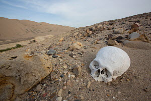 Human skull exposed where a  pre-Inca burial site has been pillaged,  Poroma Valley, Peru 2013 - Cyril Ruoso