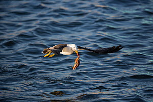 Band-tailed gull (Larus belcheri) flying over sea with crab in beack, Nazca coastal desert, Peru  -  Cyril Ruoso