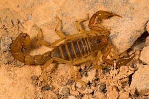 Scorpion, unknown species amongst feathers, a  specialist feeder  on soft ticks, guano island of Pescadores, Peru - Cyril Ruoso