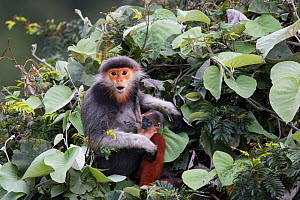 Red-shanked Douc langur (Pygathrix nemaeus) female with new born baby, Vietnam - Cyril Ruoso