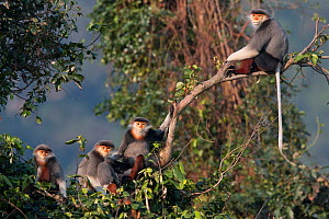 Red-shanked Douc langur (Pygathrix nemaeus) adult male, females and young sitting on branch in canopy, Vietnam  -  Cyril Ruoso