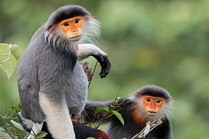 Red-shanked Douc langur (Pygathrix nemaeus) adult male and female, Vietnam  -  Cyril Ruoso