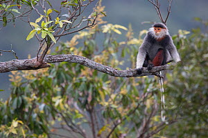 Red-shanked Douc langur (Pygathrix nemaeus) adult sitting on branch in canopy, Vietnam  -  Cyril Ruoso