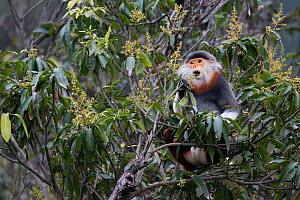 Red-shanked Douc langur (Pygathrix nemaeus) adult male feeding on flowers in canopy, Vietnam  -  Cyril Ruoso