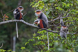 Red-shanked Douc langur (Pygathrix nemaeus) adult females and juvenile on tree branch, Vietnam  -  Cyril Ruoso