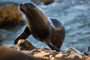 South American fur seal (Arctocephalus australis) coming up to beach from sea, Punta San Juan, Peru - Cyril Ruoso