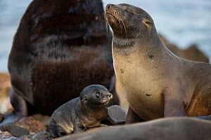 South American fur seal (Arctocephalus australis) female with young pup on beach, Punta San Juan, Peru - Cyril Ruoso