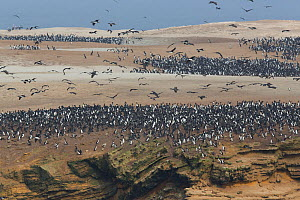 Guanay cormorant (Phalacrocorax bougainvillii) breeding colony of around 500,000 birds on guano peninsula, Punta San Juan, Peru, 2013 - Cyril Ruoso