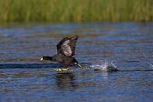 Andean coot (Fulica ardesiaca) taking off from surface of Lake Titicaca, Bolivia  -  Cyril Ruoso