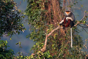Red-shanked Douc langur (Pygathrix nemaeus) adult male sitting on branch in canopy, Vietnam  -  Cyril Ruoso