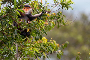 Red-shanked Douc langur (Pygathrix nemaeus) adult female in canopy, Vietnam  -  Cyril Ruoso