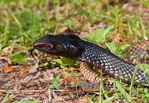 Eastern coachwhip snake (Masticophis flagellum flagellum) North Florida, USA, April.  -  Barry Mansell