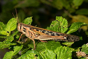 American grasshopper (Schistocerca americana) North Florida, USA, August.  -  Barry Mansell