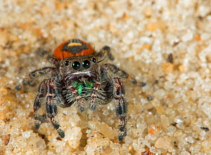 Red beauty jumping spider (Phidippus pulcherrimus) Florida, USA, April.  -  Barry Mansell