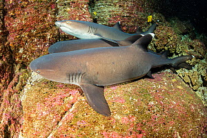 Whitetip reef sharks (Triaenodon obesus) resting on the sea floor, Roca Partida close to San Benedicto Island, Revillagigedo Archipelago Biosphere Reserve, Socorro Islands, Western Mexico  -  Franco  Banfi