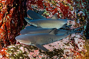Whitetip reef sharks (Triaenodon obesus) resting on sea floor, Roca Partida close to San Benedicto island, Revillagigedo Archipelago Biosphere Reserve, Socorro Islands, Western Mexico  -  Franco  Banfi