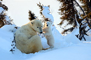 RF - Polar bear (Ursus maritimus) mother with cub aged 3 months at den. Wapusk National Park, Churchill, Manitoba, Canada. (This image may be licensed either as rights managed or royalty free.)  -  Eric Baccega