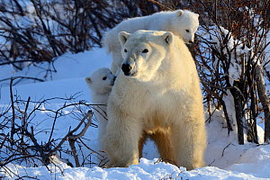 RF - Polar bear (Ursus maritimus) mother with two cubs aged 3 months, playing near den. Wapusk National Park, Manitoba, Canada. - Eric Baccega