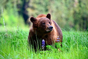 RF - Male Grizzly bear (Ursus arctos horribilis) feeding on Nootka lupine. Khutzeymateen Grizzly Bear Sanctuary, British Columbia, Canada. (This image may be licensed either as rights managed or royal...  -  Eric Baccega