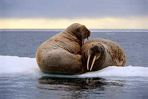 RF - Two walrus (Odobenus rosmarus) resting on ice. Foxe Basin, Nunavut, Canada. (This image may be licensed either as rights managed or royalty free.) - Eric Baccega