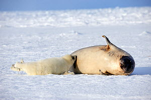 RF - Female Harp seal (Phoca groenlandicus) with suckling pup. Magdalen Islands, Gulf of St Lawrence, Quebec, Canada. (This image may be licensed either as rights managed or royalty free.)  -  Eric Baccega