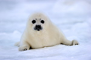 RF - Portrait of Harp seal (Phoca groenlandicus) pup on sea ice. Magdalen Islands, Gulf of St Lawrence, Quebec, Canada. (This image may be licensed either as rights managed or royalty free.) - Eric Baccega