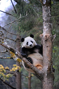 RF - Subadult Giant panda (Ailuropoda melanoleuca) climbing tree. Wolong Nature Reserve, Wenchuan, Sichuan Province, China. Captive. (This image may be licensed either as rights managed or royalty fre...  -  Eric Baccega