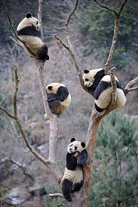 RF - Five subadult giant pandas (Ailuropoda melanoleuca) climbing in tree. Wolong Nature Reserve, Wenchuan, Sichuan Province, China. (This image may be licensed either as rights managed or royalty fre...  -  Eric Baccega