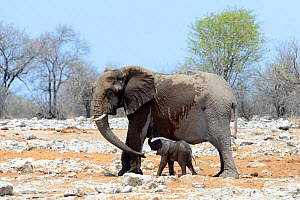 RF - African elephant (Loxodonta africana) female helping young calf with her trunk. Etosha National Park, Namibia, Africa. October. (This image may be licensed either as rights managed or royalty fre... - Eric Baccega