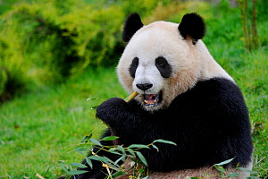 RF - Giant panda (Ailuropoda melanoleuca)  eating bamboo.Beauval zoo,  France. (This image may be licensed either as rights managed or royalty free.) - Eric Baccega