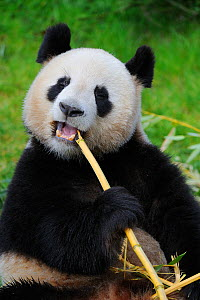 RF - Giant panda (Ailuropoda melanoleuca) eating bamboo. Beauval zoo,  France. (This image may be licensed either as rights managed or royalty free.) - Eric Baccega