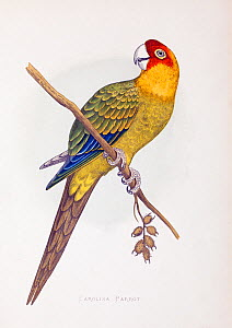 Illustration of Carolina parrot (Conuropsis carolinensis) from W. T. Greene Parrots In Captivity, George Bell and Sons, 1884 - 1887. Wood engraving by Benjamin Fawcett after drawings by A.F. Lydon. Th...  -  Paul  D Stewart