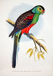 Paradise parrot (Psephotus pulcherrimus) illustration from W. T. Greene Parrots In Captivity, George Bell and Sons, 1884 - 1887. Wood engraving by Benjamin Fawcett after drawings by A.F. Lydon. Extinc...  -  Paul  D Stewart