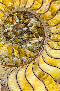 Sectioned fossil ammonite where the shell material has been replaced by pyrites, and the empty cavities of the shell have filled during fossilisation with crystalised yellow/green calcite preserving d...  -  Paul  D Stewart