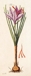Illustration of Saffron crocus (Crocus sativus) and stigmas - or threads, used as seasoning and food colouring and worth more than its weight in gold. From Friedrich Johann Justin Bertuch's 'Bilderbuc... - Paul  D Stewart