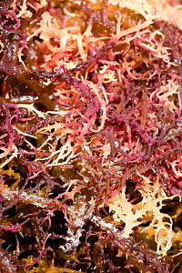 Agar seaweed (Eucheuma cottonii) seaweed grown commercially on long lines in the shallow waters off southern, drying in the sun. Sulawesi, Indonesia. It is used in the production of agar / carrageenan...  -  Paul  D Stewart