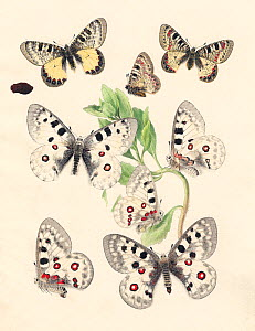 Illustration of Apollo butterflies (Parnassius apollo) and the False Apollo (Parnassius mnemosyne) as well as chrysalis and Sedum foodplant,  By unknown European artist, 1875.  -  Paul  D Stewart