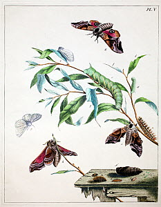 Illustration of Eyed hawk moth (Sphinx occelata) and White ermine moth (Spilosoma lubricipeda) and food plant, from the  Aurelian by Moses Harris, 1776.  -  Paul  D Stewart