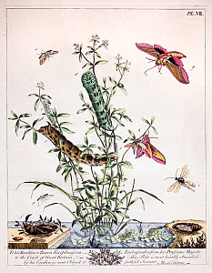Historical illustration of  Large elephant hawk moth (Deilephila elpenor) and Small elephant hawk moths (Deilephila porcellus) Plate VII in the first edition of the Aurelian by Moses Harris, 1766.  -  Paul  D Stewart