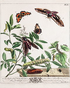 Historical illustration of Privet hawkmoth (Sphinx ligustri), and Small tortoiseshell butterfly (Aglais urticae) showing 'aurelian' chrysalis. Plate II in the first edition of the Aurelian by Moses Ha...  -  Paul  D Stewart