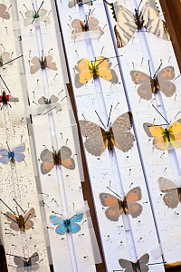 European butterflies on a collector's setting board. Collecting butterflies was a common hobby in Britain and Europe from the 18th to 20th century, as well as widespread for collections in museums. - Paul  D Stewart